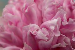 Peonia delicata dei petali fotografia stock libera da diritti