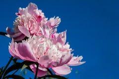 Peonia - dystyngowany kwiat, bogactwo wróży zaludniać obrazy royalty free