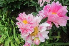 Peonia gialla rosa-chiaro malva bianca del germoglio di pini delle peonie della peonia con il germoglio Immagine Stock