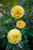 Peonia ibrida Bartzella giallo di Itoh in giardino immagine stock libera da diritti