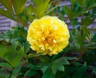 Peonia ibrida Bartzella giallo di Itoh in giardino immagine stock