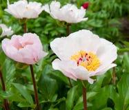Peonia kwiatów ogród. Fotografia Stock