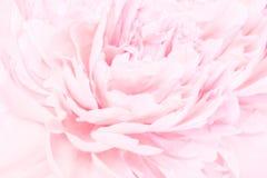 Peonia kwiatów okwitnięcia delikatna blured rama Płytka głębia Kartka z pozdrowieniami tło kwiecisty szablon Miękki pastel tonują Obrazy Stock