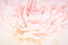 Peonia kwiatów okwitnięcia delikatna blured rama Płytka głębia Kartka z pozdrowieniami tło kwiecisty szablon Miękki pastel tonują Zdjęcia Stock