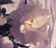 Peonia kwiatów zamknięty up Zdjęcie Royalty Free