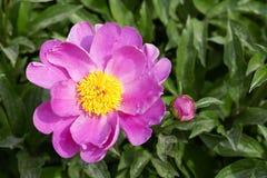 Peonia kwiat obraz royalty free