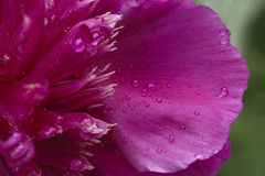 Peonia kwiat obrazy royalty free