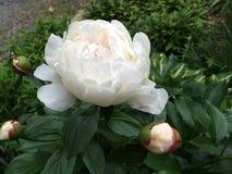 Peonia kwiat Zdjęcia Royalty Free