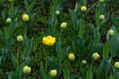 Peonia kwiat otwarci szybcy inny w grupie wtedy Fotografia Stock
