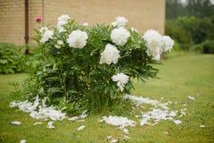 Peonia kwiat w lato ogródzie Zdjęcie Stock
