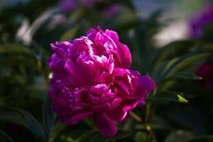Peonia kwiat, zakończenie Obraz Stock