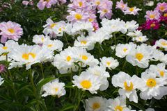 Peonia kwiatu biel Obraz Royalty Free