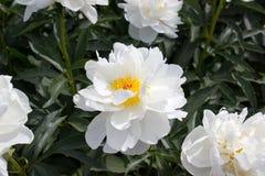 Peonia kwiatu biel Zdjęcia Royalty Free