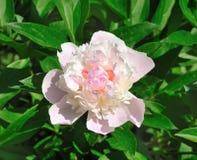 Peonia kwiatu miękkiej części menchii kolor. Obraz Royalty Free