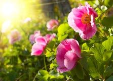 Peonia kwiaty Obrazy Royalty Free