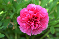 Peonia kwiaty 1 Obrazy Stock