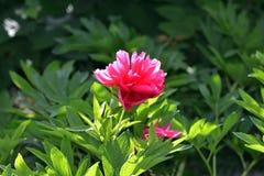 Peonia kwiaty 3 Zdjęcia Stock