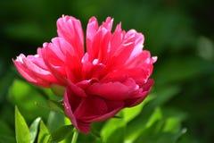 Peonia kwiaty 4 Obrazy Stock