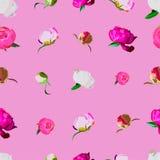 peonia na różowym tle Fotografia Royalty Free