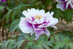 Peonia nel giardino immagine stock