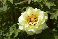 Peonia nel giardino fotografia stock libera da diritti