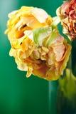 Peonia o Finola Double Tulip su fondo verde Fotografia Stock Libera da Diritti