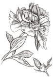 Peonia pączek kwitnący ilustracja wektor