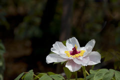 peonia piękny biel Obraz Royalty Free