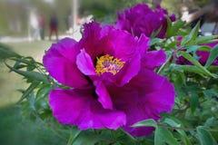 Peonia porpora dell'albero del fiore fotografia stock libera da diritti