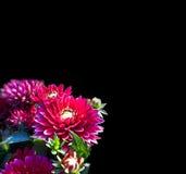 Peonia porpora, immagine isolata Fotografia Stock