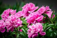 Peonia rosa Fotografie Stock Libere da Diritti
