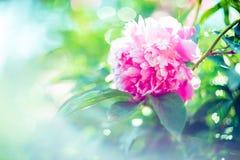 Peonia rosa Fotografia Stock