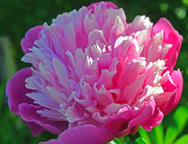 Peonia rosa Immagini Stock