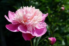 Peonia rosa Fotografie Stock