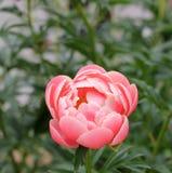 Peonia rosa fotografia stock libera da diritti