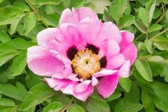 Peonia rosa decorativa Fotografie Stock Libere da Diritti