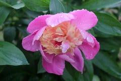 Peonia rosa dopo la pioggia Fotografia Stock Libera da Diritti