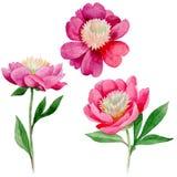 Peonia rosa Fiore botanico floreale Wildflower selvatico della foglia di estate isolato Immagine Stock