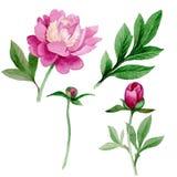 Peonia rosa Fiore botanico floreale Wildflower selvatico della foglia di estate isolato Immagini Stock