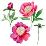 Peonia rosa Fiore botanico floreale Wildflower selvatico della foglia di estate isolato Fotografie Stock Libere da Diritti