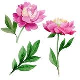 Peonia rosa Fiore botanico floreale Wildflower selvatico della foglia di estate isolato Fotografia Stock