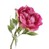 Peonia rosa isolata su bianco Fotografia Stock Libera da Diritti