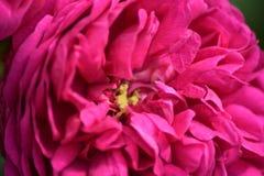 Peonia rosa su fondo verde Fotografie Stock
