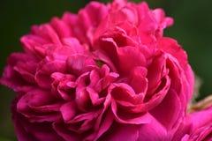 Peonia rosa su fondo verde Fotografie Stock Libere da Diritti
