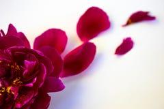Peonia rosa Su una priorit? bassa bianca immagini stock