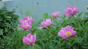 Peonia rosa in una piena fioritura in giardino video d archivio