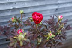 Peonia rossa di Itoh nel giardino della casa di primavera fotografie stock