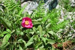 Peonia selvatica nel parco di Nebrodi, Sicilia immagine stock