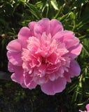 Peonia w ogródzie wcześnie rano obraz royalty free