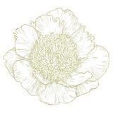 Peonia wektorowy kwiat. Obrazy Stock